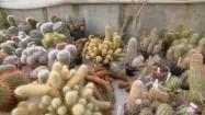 Kaktusy w szklarni