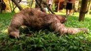 Wędrujący leniwiec