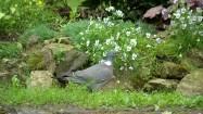 Gołąb w ogrodzie