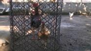 Kury w klatce