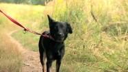 Pies spacerujący na smyczy