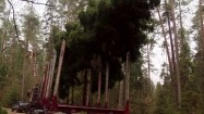 Transport ściętego drzewa