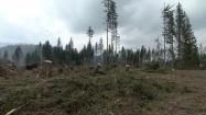 Ścięte drzewa na Podhalu