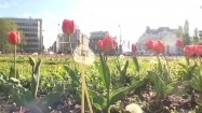 Tulipany w mieście
