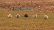 Owce na pastwisku