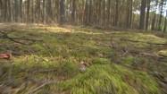 Podgrzybek w lesie