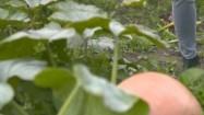 Dynia w ogrodzie