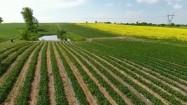 Plantacja truskawek i pole rzepaku