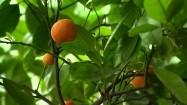Pomarańcze na drzewku