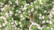 Pszczoła na kwiatach tymianku