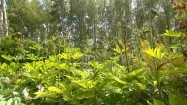 Arcydzięgiel olbrzymi w ogrodzie
