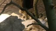 Kot arabski drapiący się za uchem