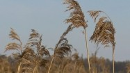 Trawa kołysząca się na wietrze