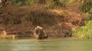 Bydło nad rozlewiskiem Mekongu