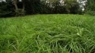 Nieskoszona trawa