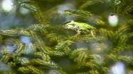 Żaba wodna w stawie