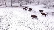 Żubry w Puszczy Białowieskiej zimą