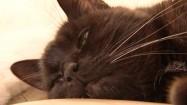 Leniuchujący czarny kot