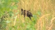 Pies biegnący przez pole