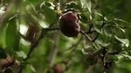 Jabłko na jabłoni
