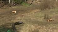 Lwy na wybiegu