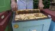 Ramka z pszczołami i plastrem miodu