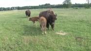 Samica bizona z młodymi