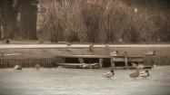 Kaczki chodzące po zamarzniętym stawie