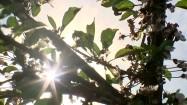Gałęzie drzewa owocowego