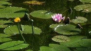 Lilie wodne i grążele żółte