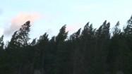 Sosny kołyszące się na wietrze