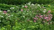 Białe i różowe kwiaty