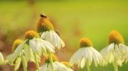 Kwiaty jeżówki bladej