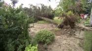 Drzewo powalone przez wichurę