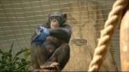 Szympans zakładający rękawiczkę