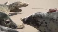 Foki na plaży