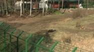 Lew leżący na wybiegu w zoo