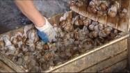 Ślimaki hodowlane w skrzynce