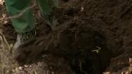 Wykopywanie krzewu