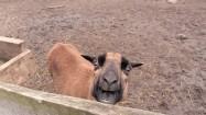 Owca kameruńska