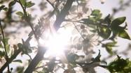 Kwitnące gałęzie