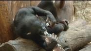 Szympans pijący wodę z butelki