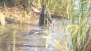 Jedzący krokodyl