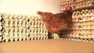 Kura i jajka w wytłaczankach