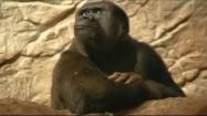 Goryl w zoo