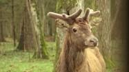 Młody jeleń w Puszczy Białowieskiej