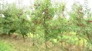 Jabłka na jabłoniach