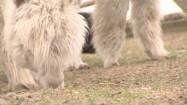 Alpaka skubiąca trawę
