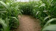 Spacer po polu kukurydzy