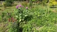 Różowe maki ozdobne w ogródku